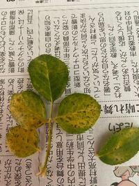 これって黒点病でしょうか? 数枚少し葉色が違ったのですが…  鉢植えの薔薇です。