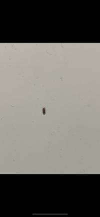 最近家でこんな虫が結構出ていますが、飛ぶので、何の虫ですか?