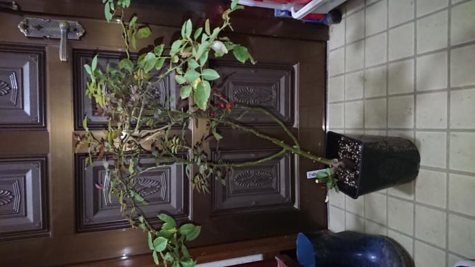 数日前に買ったツルミミエデンについてお伺いします。 ある大型スーパーでツルミミエデンの大苗がかなり値下がりしていて、つい買ってしまいました。 ご覧のように5〜6号鉢に植わっているのですが数本の...