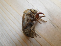 この抜け殻は、いったいどちら様の抜け殻でしょうか?  お尻の部分がハチっぽくも見えるのですが、ハチは…脱皮しませんよね?