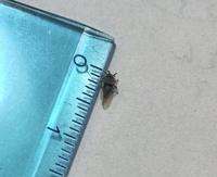 この羽虫の正体を教えてください。 体長は添付の写真の通り4〜5mm。 黒い体で、脚が長く、死骸を指でつまんでも潰れない頑丈な体を持っています。  8月下旬からマンションの部屋の床で死ん でいるのを見かけるようになりました。不思議と生きて飛んでいる姿を見たことはなく、朝起きると床で5〜6匹ひっくり返っているのです。  玄関と廊下に多くいるので、ドアの隙間から入ってきたんだろうなと思...