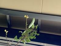 このスズメガは何のスズメガでしょうか? モモスズメでしょうか、トビイロスズメでしょうか? ちなみにですがこの木は桜科です。ですが、花マニアの人も珍しいと驚いたほどの木だそうです。 どなたかわかる方お願いいたします‼︎