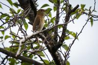 野鳥に詳しい方、教えて下さい。 この鳥は、オオルリ♀でしょうか、、色合いが若干違うようで・・・。