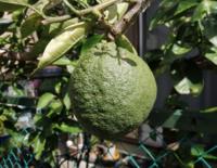 とてもゴツゴツとした直径12〜13cmの柑橘の実が生っています。 何と言う種類の柑橘かご存じの方がいらっしゃいましたら教えて下さい!