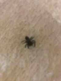 このクモの名前は?直径1センチぐらいの黒色です。写メします。 サッシなどの隙間から部屋に入って来たようで、数匹、部屋をウロウロしてます。特に悪さしてないので、みつけたら、そとに、逃がしてます。ある日...