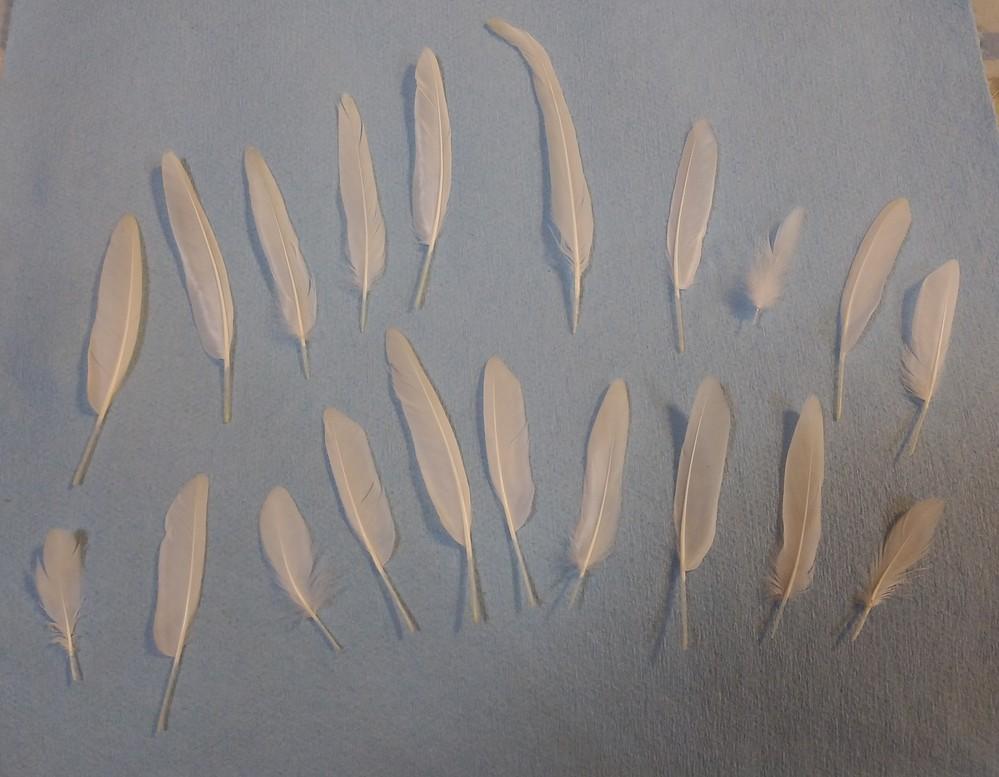 セキセイインコの雛換羽。 4月18日産まれ、現在約5か月のセキセイインコ、オパーリンです。 7月中旬よりより雛換羽と思われます。 めちゃくちゃ羽が抜けました。 風切り羽も抜けました。 8 月下旬...