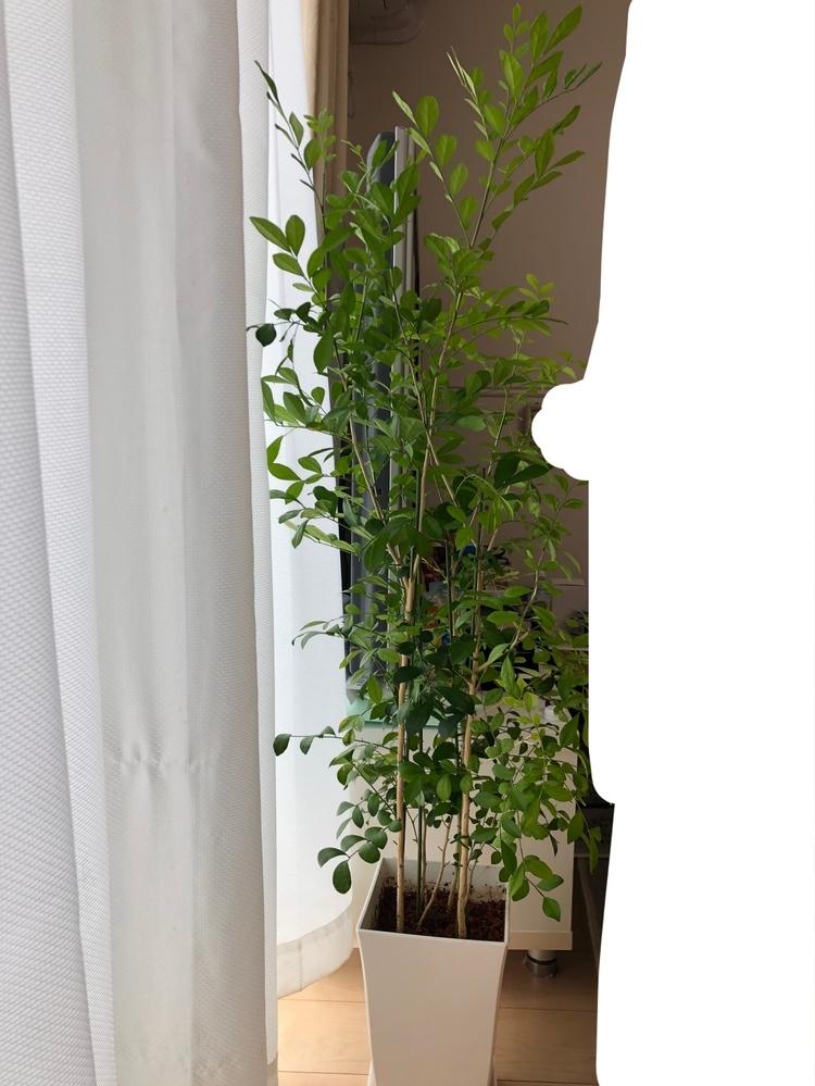 シルクジャスミンを室内で育てています。 肥料をあげたいのですが、 なにをあげたらいいのでしょうか? よく見るスポイトのようなものを土に刺すものでいいのですか?