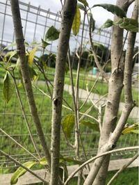 今年四月に植えたキンモクセイですが、あまり葉っぱ黄色入ってなく、どうしたんだろう? 病気?虫?水不足?