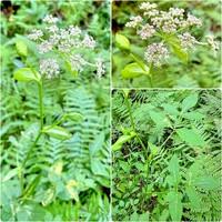 植物の名前を教えてください。  セリ科シシウド属の…何でしょう? 画像では分かりにくいのですが、花は真っ白でなく紫色が混じっています。