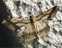 蛾の種類  写真の蛾について 種類が分かる方、ご教示ください。  本日福岡県で撮影したものです。 エダシャクに似た種類がいるようですが、よく分かりません。