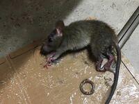 台所の床に設置したトラップにかかっていたんですがこのネズミの種類は何ネズミですか。