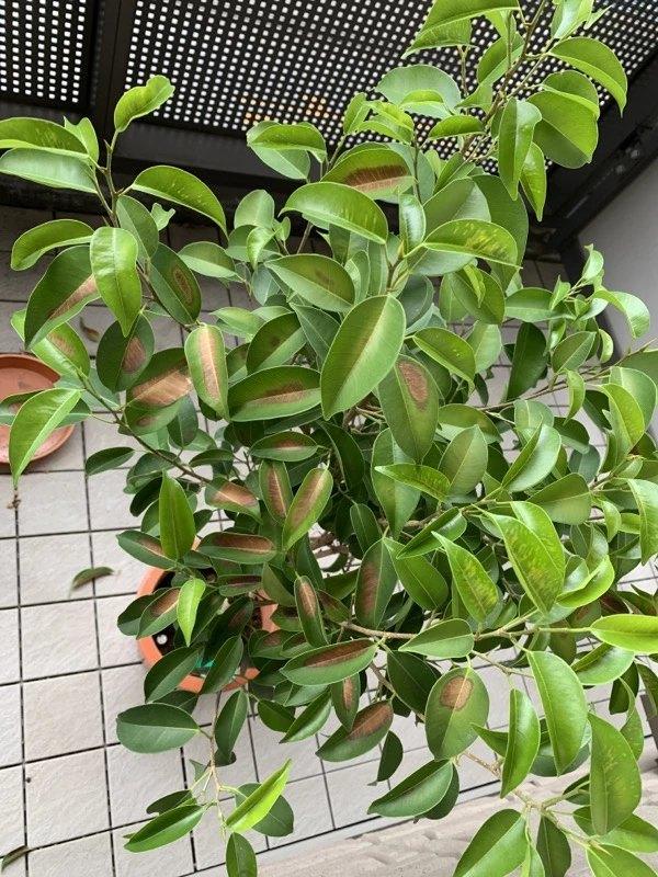 ベンジャミンの葉っぱが急に真ん中から茶色になりました。何が原因でしょうか?また、どう対処すればよろしいでしょうか? ありがとうございます (T_T)