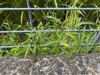 水田雑草について、 ただの雑草に見えますが水槽で水草として水中行けるのかテストしたく思い、この植物の名前が知りたいです。 見た目的にはイネ科ぽいんですがどうでしょう?  細部の画像が必要な場合は返信に...