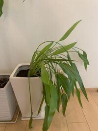 細長い鉢に植えられていたものを 10年ほど前に購入しました。 1ヶ月ほど前、大きな植木鉢に植え替えました。 細長い植木鉢の時は 伸びた茎が途中で折れたようになり 新しく出てきたもの?はピンとして折れ曲がっ...