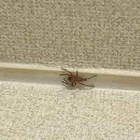 このクモの種類は何でしょう? 壁の上の方でじーっとしているのですが見たことがないクモなので、気になります。  捕獲に失敗し、 部屋のどこかへ行ってしまい、 行方が気になっています。  詳しい方教えて下さい。