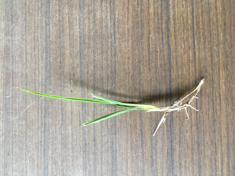 この草が芝生に沢山生えて困ってます。除草方法教えて頂きたいです! 根っこがうまく取れないです。上手く引き抜く方法はありますか? また除草剤で使える物はありますか?