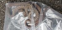 ご覧頂きありがとうございます。  先日近所の子供達に蛇退治をして欲しい言われ、現場へ向かったら写真の蛇を捕獲しました。 一度ビニール袋に入れて近くの山林地帯に放しました。  蛇には全く無知なもでお聞きし...