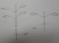 有茎草について アクアリウムをしています。30キューブで熱帯魚と水草を育てています。(ソイル使用) アヌビアスやミクロソリウム、クリプトコリネやバリスネリアなどほとんどの水草は全く問題なく育てられます。 ...