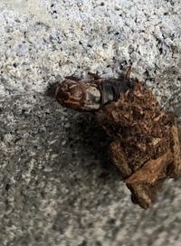 家のブロック塀にいた虫なのですが、これはなんという虫なんでしょうか? 最初はサナギが羽化するところだと思ったのですがどうも違うようで、息を吹きかけると纏っている枯れ葉?みたいなところに隠れてしまいます。