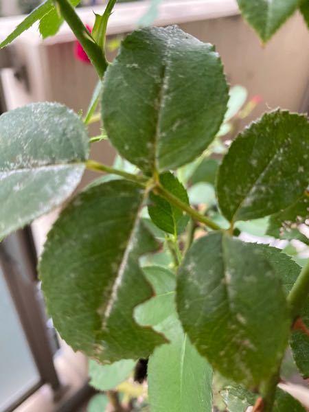 バラの葉が写真のように、葉脈や中心部分が透明のようになって侵されていきます。害虫の仕業だと思いますが、何の虫でしょう? 対処法も教えていただければ助かります。 どうぞよろしくお願いします。 ...