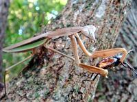 カマキリはクワガタやカブトムシはまず襲わないと言われますが、コクワガタ程度なら狙うこともあるんでしょうか?