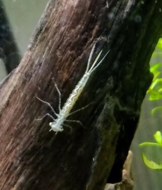 白い ミナミヌマエビ