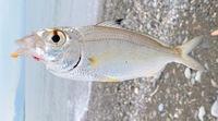 この魚なにか分かりますか? アジっぽいけどちょっと違う気がして。