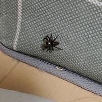 この蜘蛛ってなんの蜘蛛ですか? 大きさ的には小さめです。 生かすか逃がすか殺めてしまうか迷っていて、、 特別イライラする訳でもないのですがなんせ寝室に住み着いてるもんで…