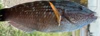 この魚はベラですか?
