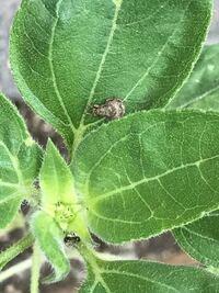 ひまわりを育てています。ひまわりの葉にこの写真中央の茶色の虫がついてました。体調は1センチ以下です。名前がわかる詳しい方教えていただきたいです。よろしくお願いします。