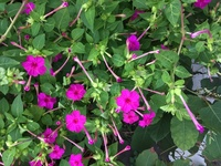 この花はなんという花ですか? 真ん中がブーゲンビリアみたいになっていて、芳香がします。 ニチニチソウやペチュニアにも似てる気がしますが。。。 盛夏に長く咲く花です。