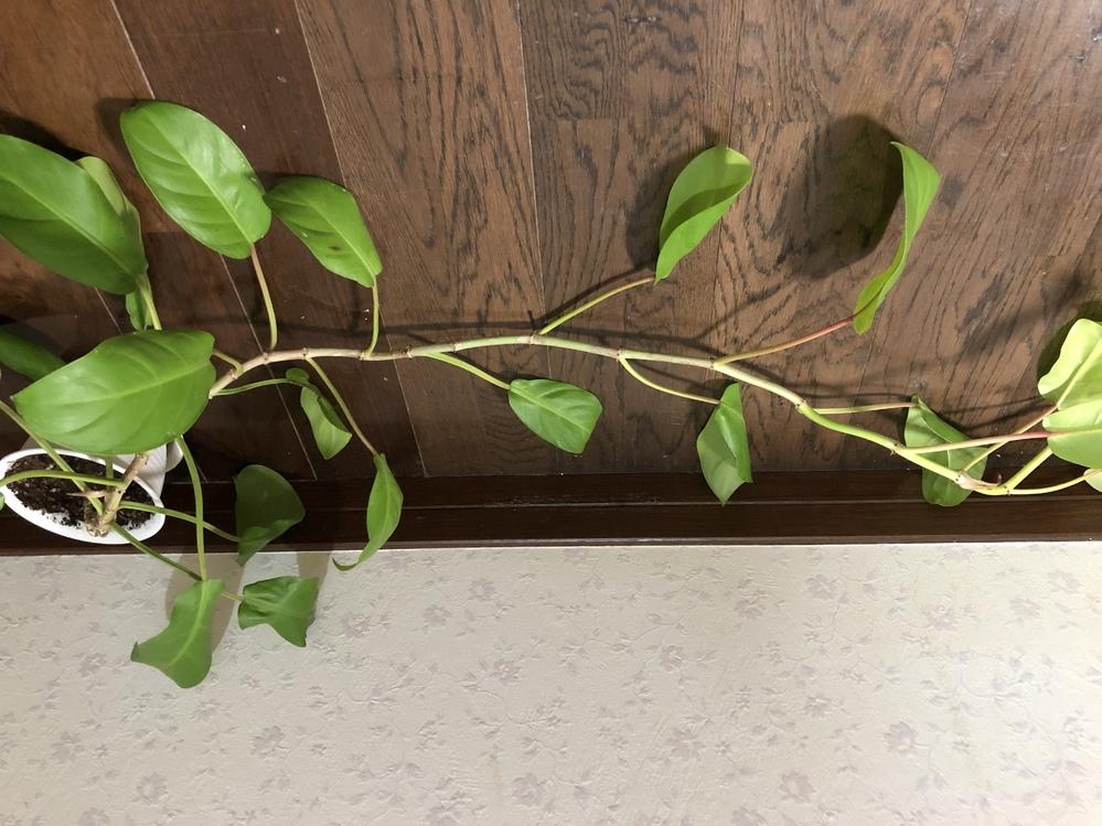 半年ほど前にこちらの植物を購入しましたが、 嬉しいことにどんどん伸びてくれて、買った当初は15cmほどしか無かったのが、今では2m近くまで成長しています。 ですが、名前が書いてある札がなかった為...