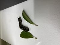 この芋虫は何の幼虫でしょうか??