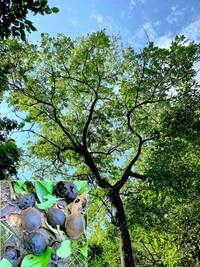 樹木の名前を教えてください。  オニグルミでしょうか?