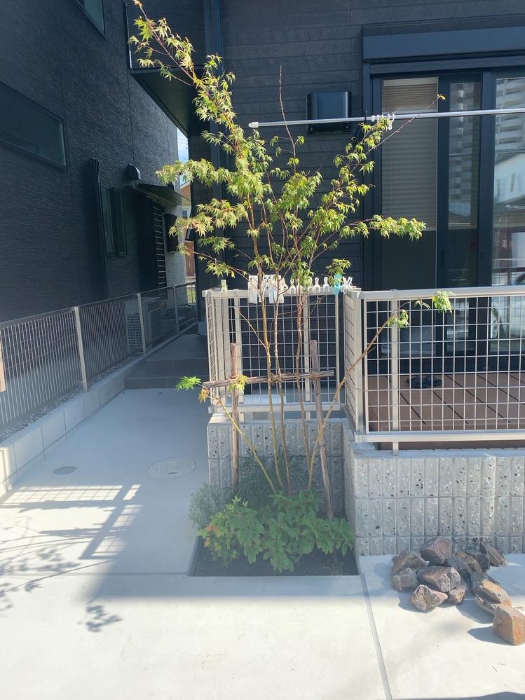 庭の緑地について 駐車場(コンクリート)の一角に真砂土を入れて小さな緑地を作っています。 緑地にはイロハモミジ、オタフクナンテン等が植わっていますが、この緑地部分の土がコンクリートよりも3~5...