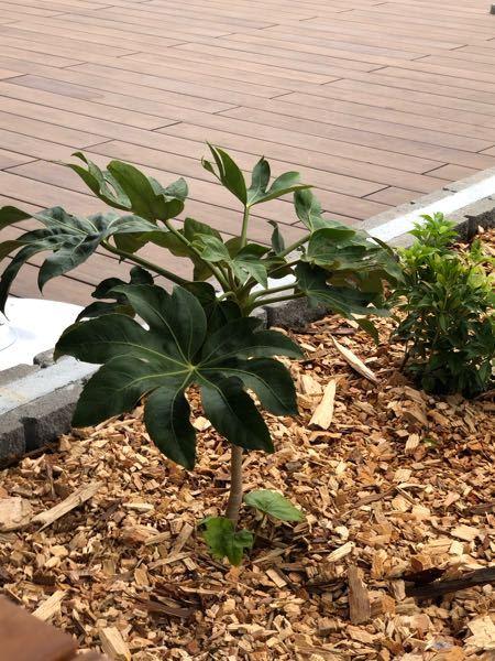 これは何の木ですか?? タイ料理屋さんの前に植えてありました。