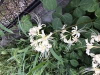 彼岸花と全く同じ形で色が白い花があります、これも彼岸花でしょうか。