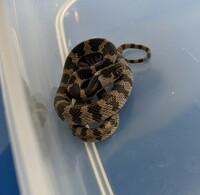 この蛇は、シロマダラでしょうか?  先日家の駐車場にいたのを捕まえて、 調べてたらシロマダラだと思い、 子供達と飼おうとなったのですが 知り合いにマムシじゃない? って言われ、不安です。  分かる方教えて下さいm(_ _)m