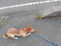 豆柴という名目で、高いお金をだして買った柴犬が 普通以上の大きさになった。という人に私は二人も会いました。ネットでそういうトラブルがあることは知ってましたが、身の回りにいるものかと思うと驚きです。似...