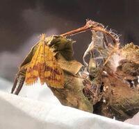 蛾の種類  ベニフキノメイガと思われる幼虫を飼育しており 本日、無事羽化しました。  こちらベニフキノメイガで相違ないでしょうか。 福岡県で捕まえた幼虫です。