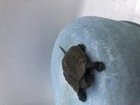 亀を拾いました! なんの種類か分かる方お願いします 他の亀の写真を見るよりも目が大きいなと思いました