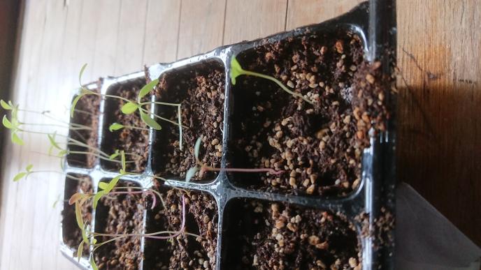 イチゴの種が発芽しました。 茎がかなり伸びているので心配です。 大丈夫ですか?