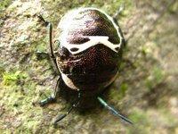 我こそは昆虫博士だと言う方!! 本日山の中で見た事も無い昆虫を見つけました。 小学生時代はクワガタを2~3百匹飼っている程に昆虫好きですが・・・ まあ図鑑などでも見た覚えのない昆虫でした。 体長=1...