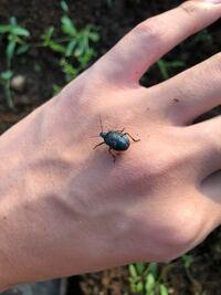 このカメムシは幼虫だと思うのですが、なんの幼虫でしょうか?