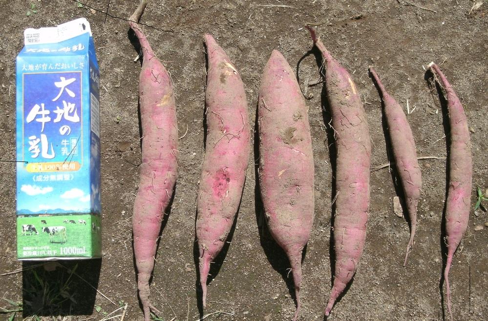 サツマイモ(シルクスイート)を試し掘りしました。 収穫の時期でしょうか。 それとももう少し大きくした方が良いですか。 初めての栽培(家庭菜園)なので教えてください。