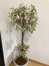 ベンジャミンと言う観葉植物を夏に購入しました ここ最近寒くなったせいか一気に葉がなくなってきました。冬は仕方がないものでしょうか  冬でも葉をつける方法はありますか?