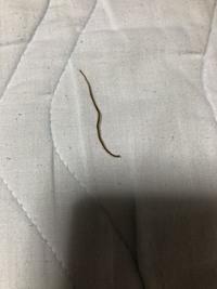 この細長い虫何か、わかりますか? 人に、有害ですか?