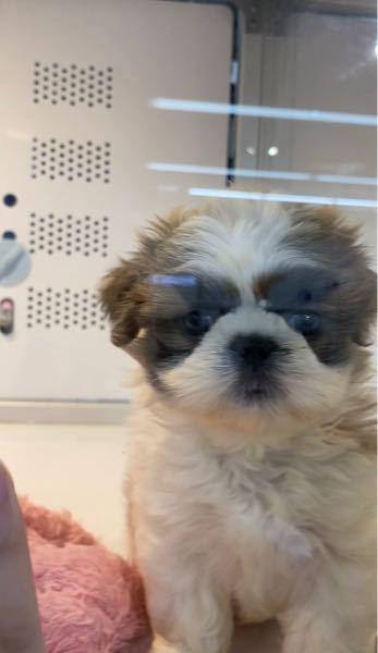 前ペットショップでこの犬を見つけました。 ミックス犬だったんですけどなんのミックス犬だと思いま...