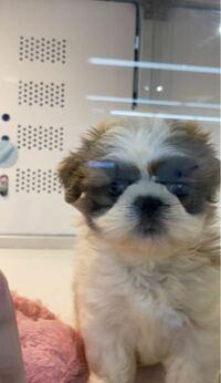 前ペットショップでこの犬を見つけました。 ミックス犬だったんですけどなんのミックス犬だと思いますか?わかる人いれば教えてください!