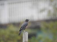 この野鳥の名前を教えて下さい こんにちは 今日、見慣れない野鳥を撮影したのですが手持ちの図鑑、ネット等で調べても種類が全くわかりません。 どなたかご教授お願いします。